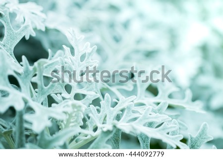 macro soft focus shot of dusty miller  silver dust  centaurea cineraria  ragwort  foliage plants on blur background with copy space. winter season.