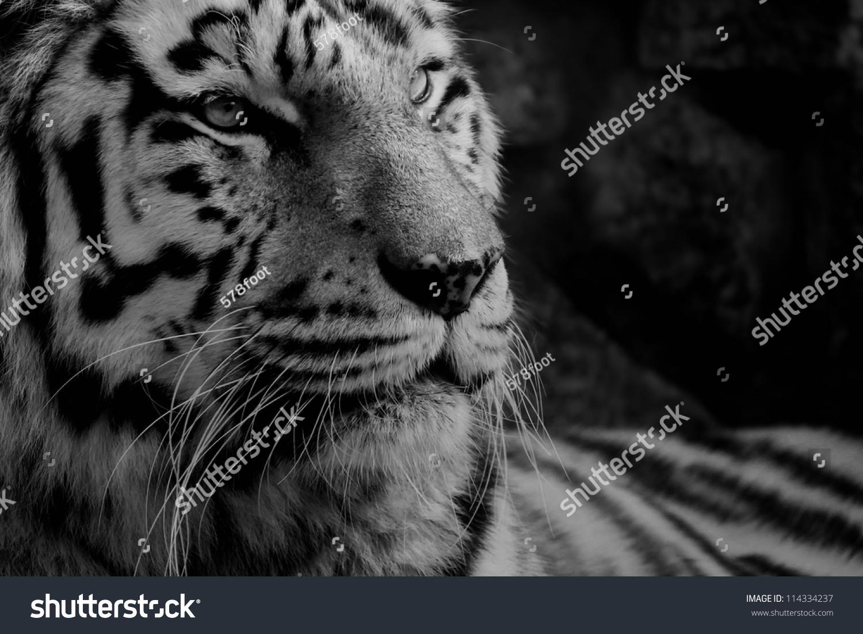 黑色和白色老虎的照片-动物/野生生物