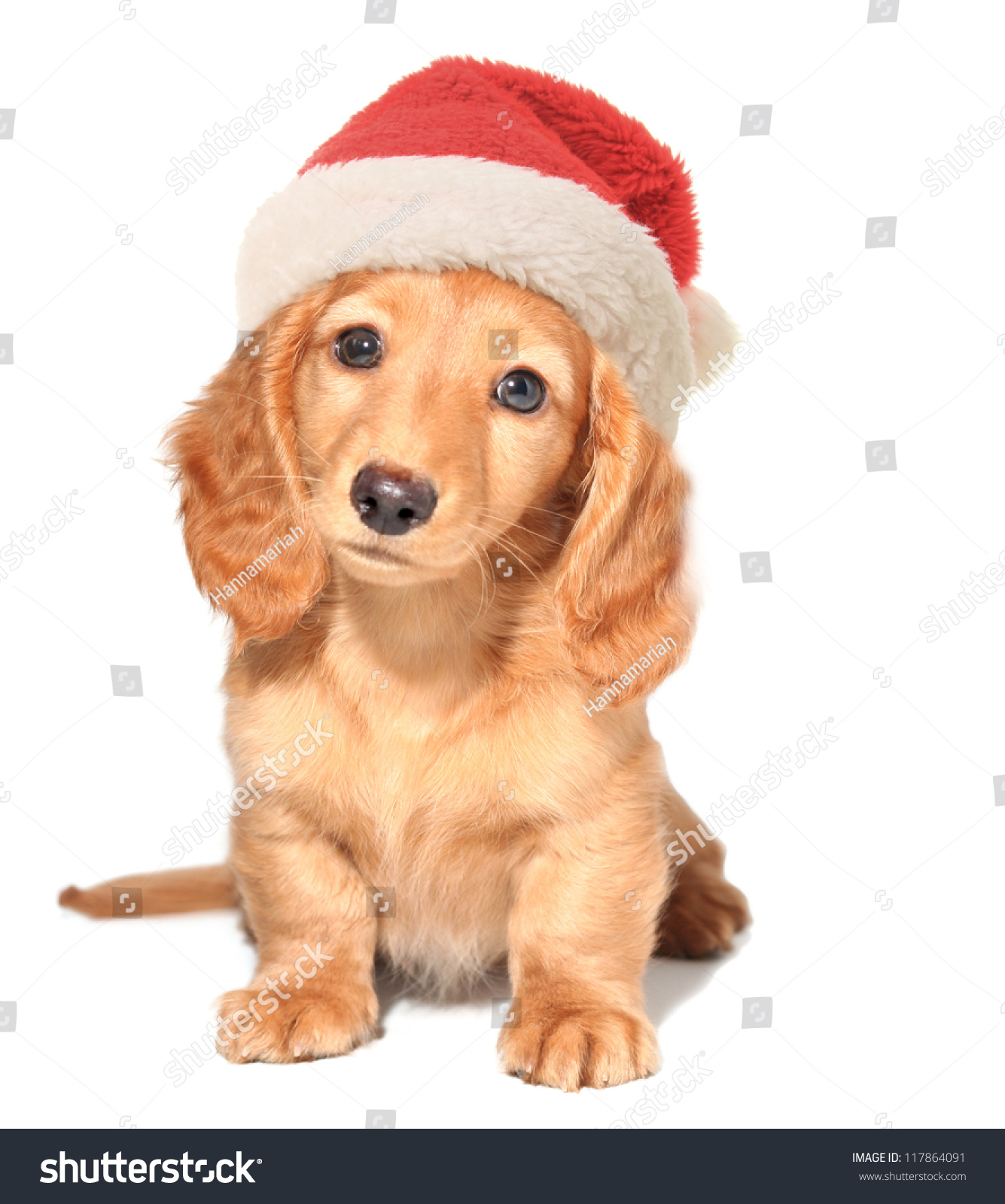 迷你腊肠狗戴着圣诞老人的帽子