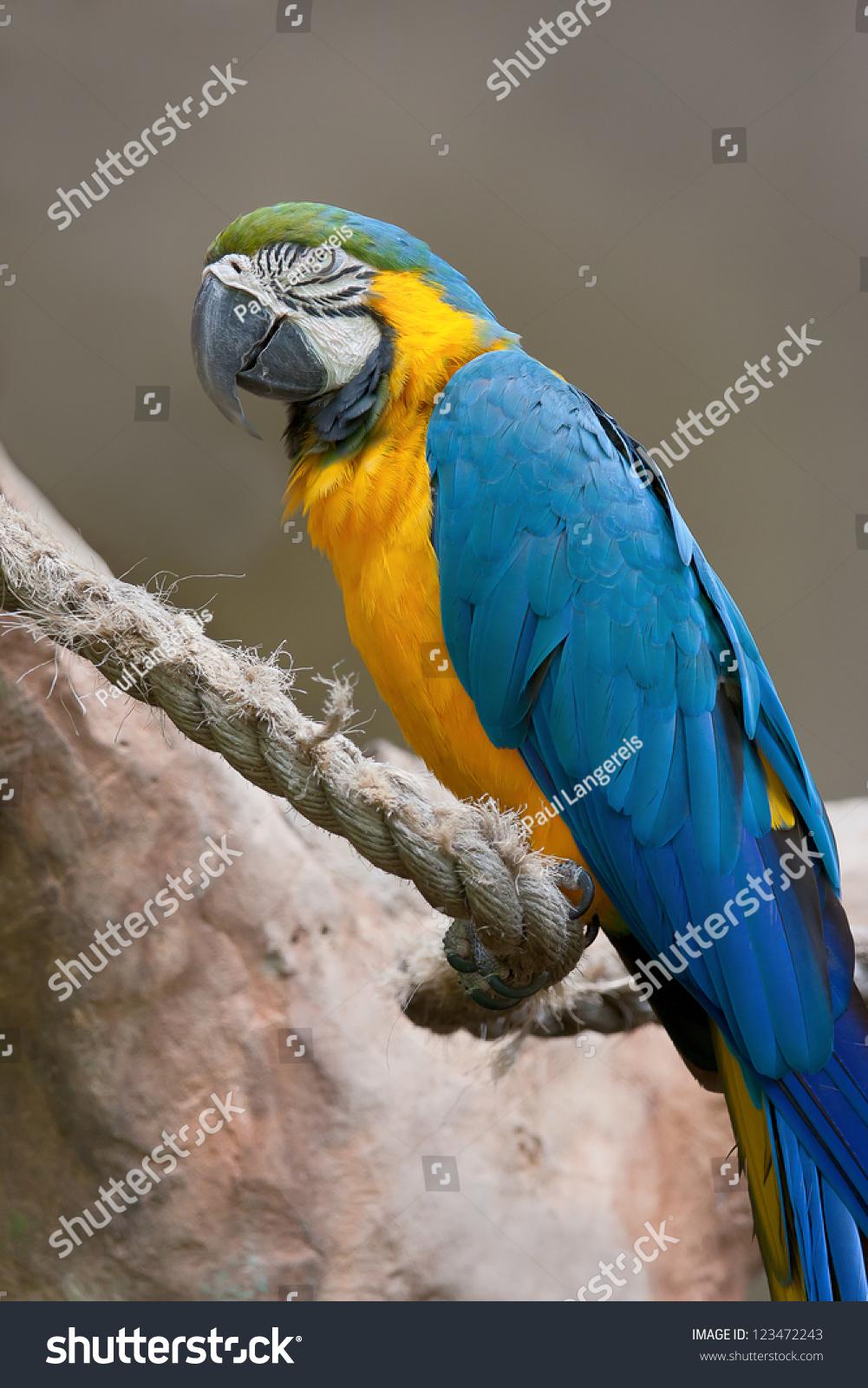 黄色和蓝色鹦鹉栖息在绳子.-动物/野生生物,自然-海洛