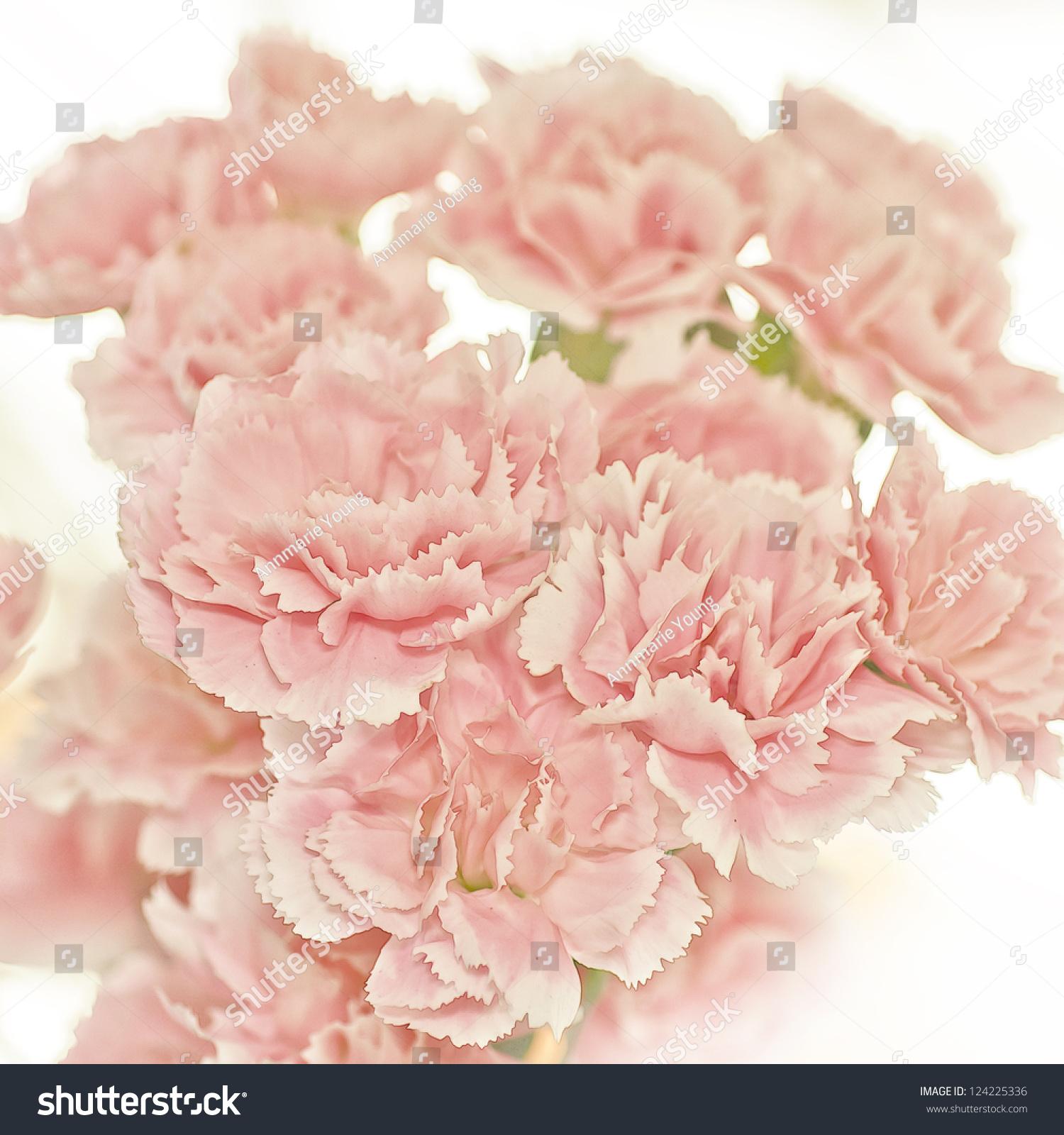 照片说明粉红色的康乃馨花-背景/素材,自然-海洛创意