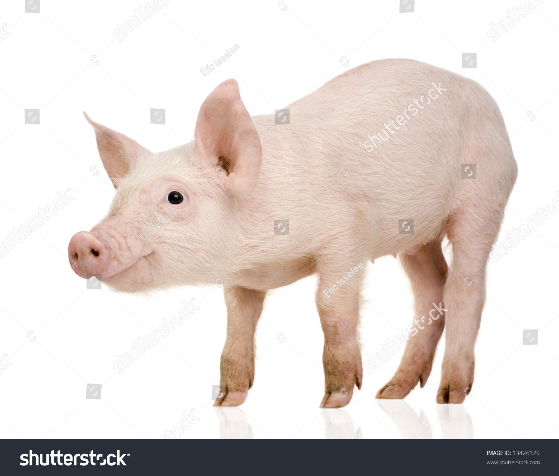 年轻的猪(+ / 1个月)在白色背景的前面-动物/野生生物
