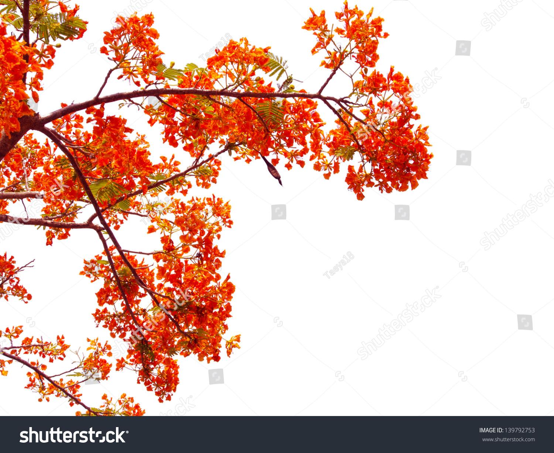 橙色孔雀花在凤凰木树.孤立在白色-背景/素材,自然-()