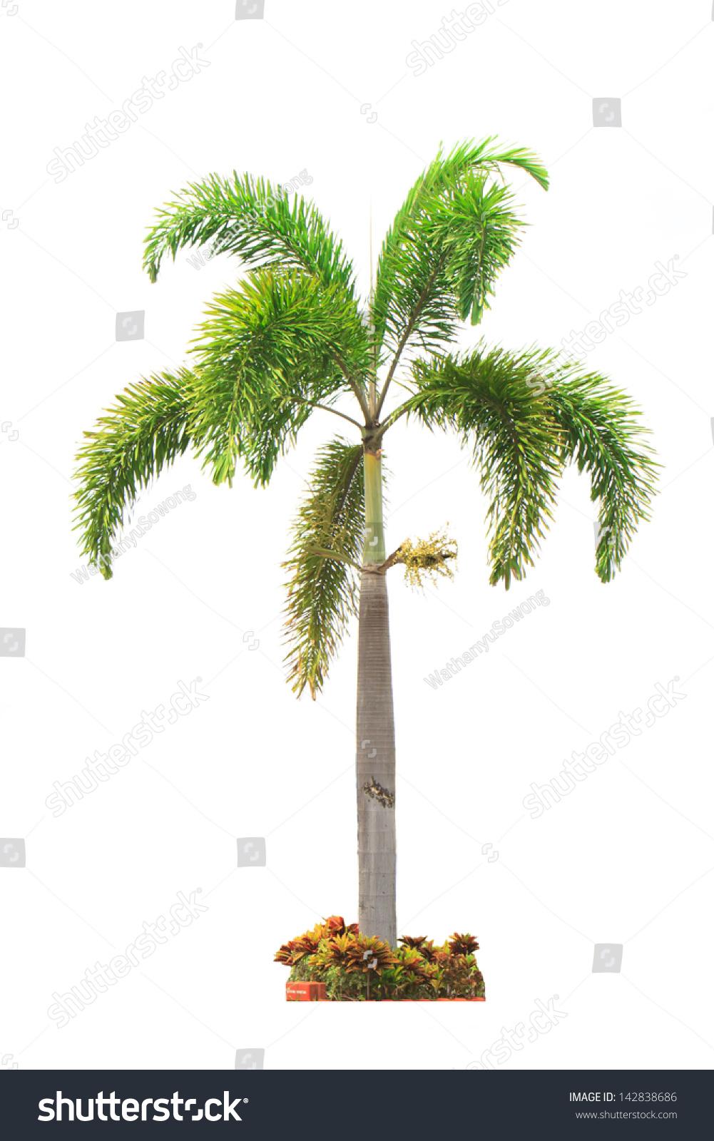 槟榔树孤立在白色的.