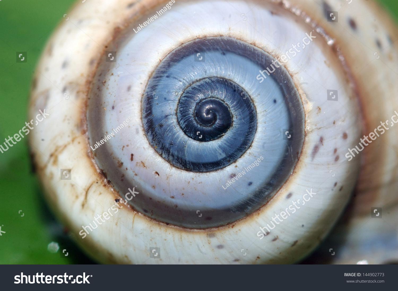 背景的蜗牛壳显示一个斐波那契螺旋-动物/野生生物