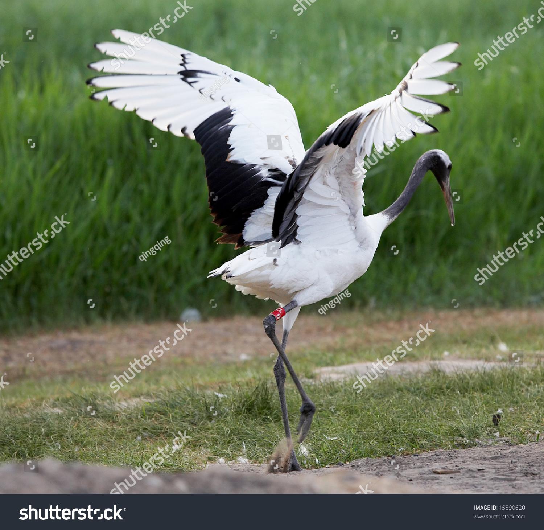 丹顶鹤的翅膀传播-动物/野生生物