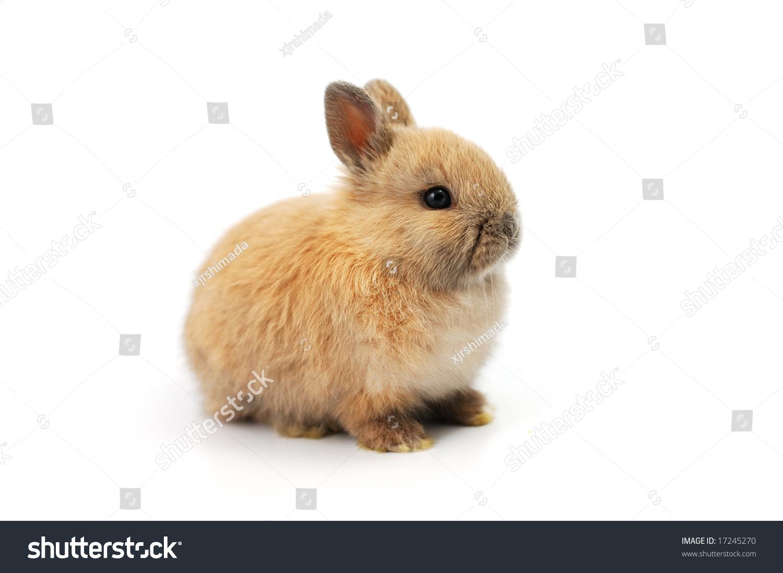 小兔子在白色背景上-动物/野生生物