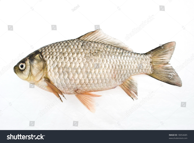 鲤鱼孤立在白色-动物/野生生物
