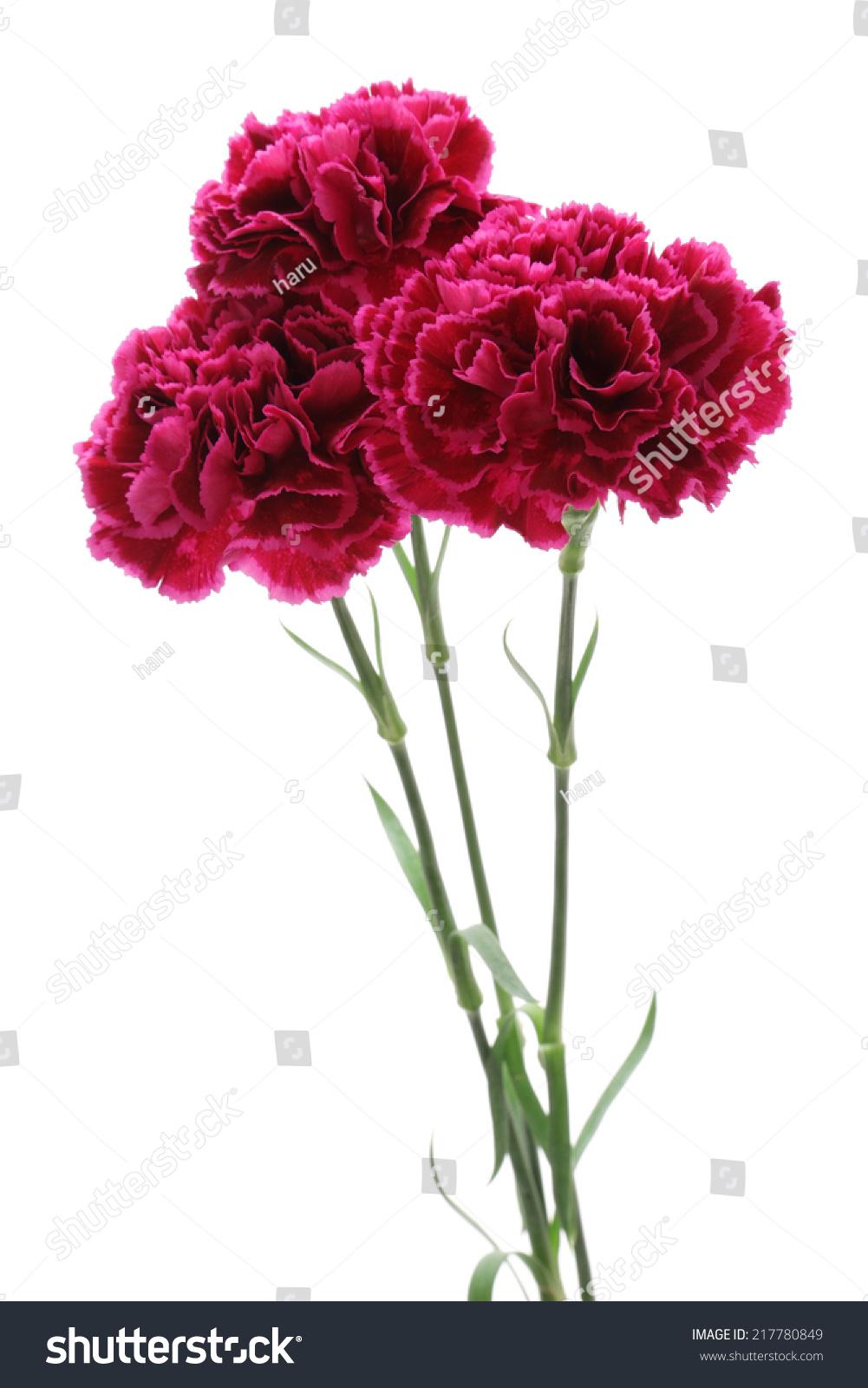 紫色康乃馨孤立在白色背景-背景/素材,自然-海洛创意