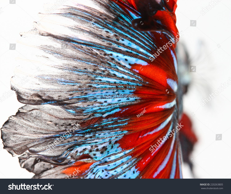 纹理的尾巴暹罗斗鱼-动物/野生生物