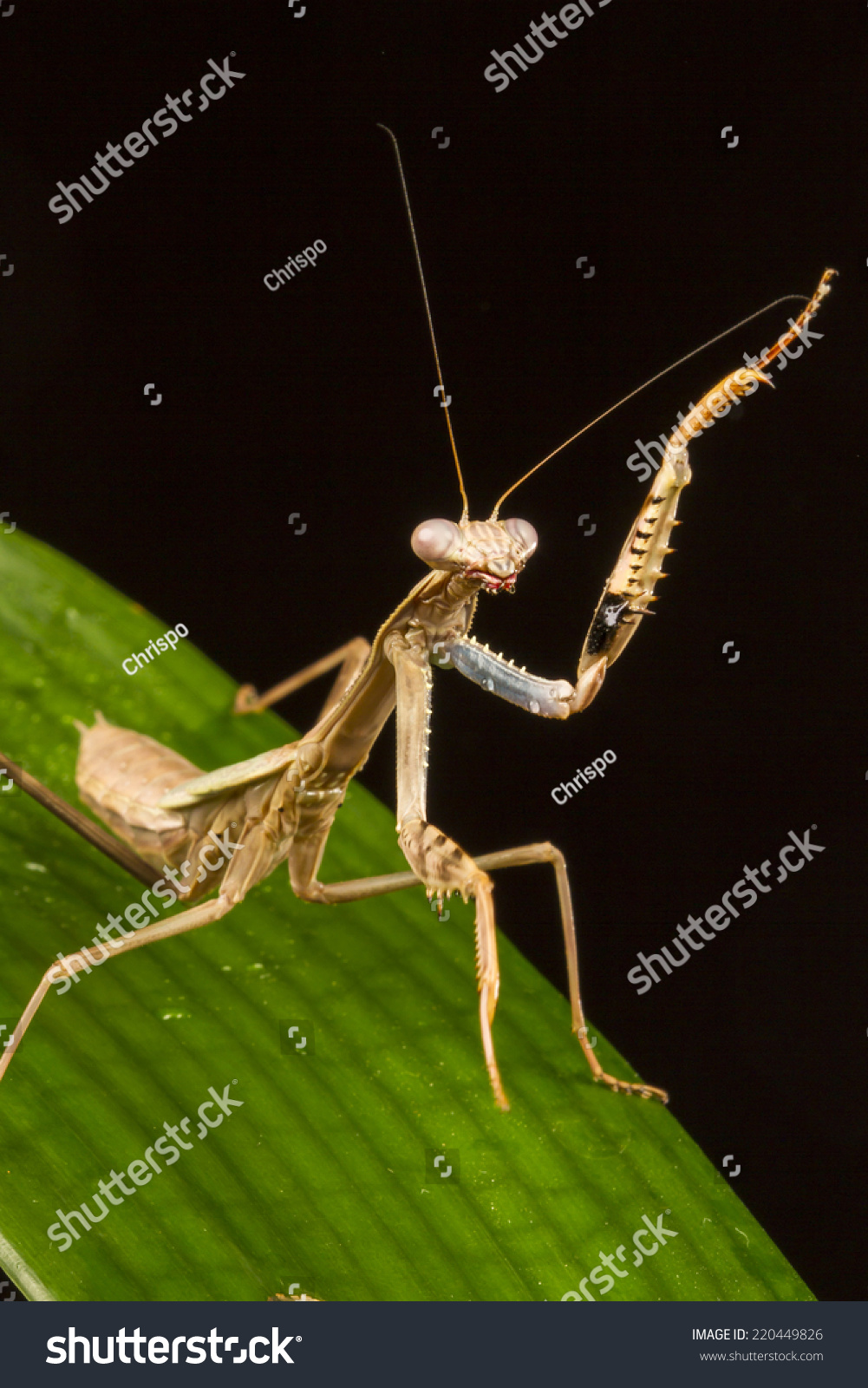 动物名片螳螂图片