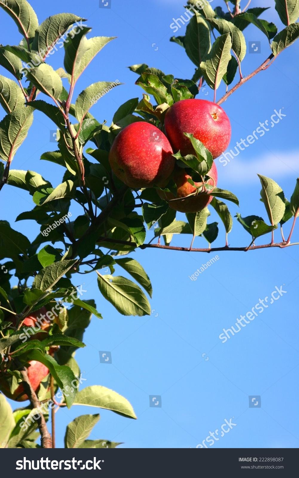 果园里的苹果树.-食品及饮料,自然-海洛创意(hellorf)