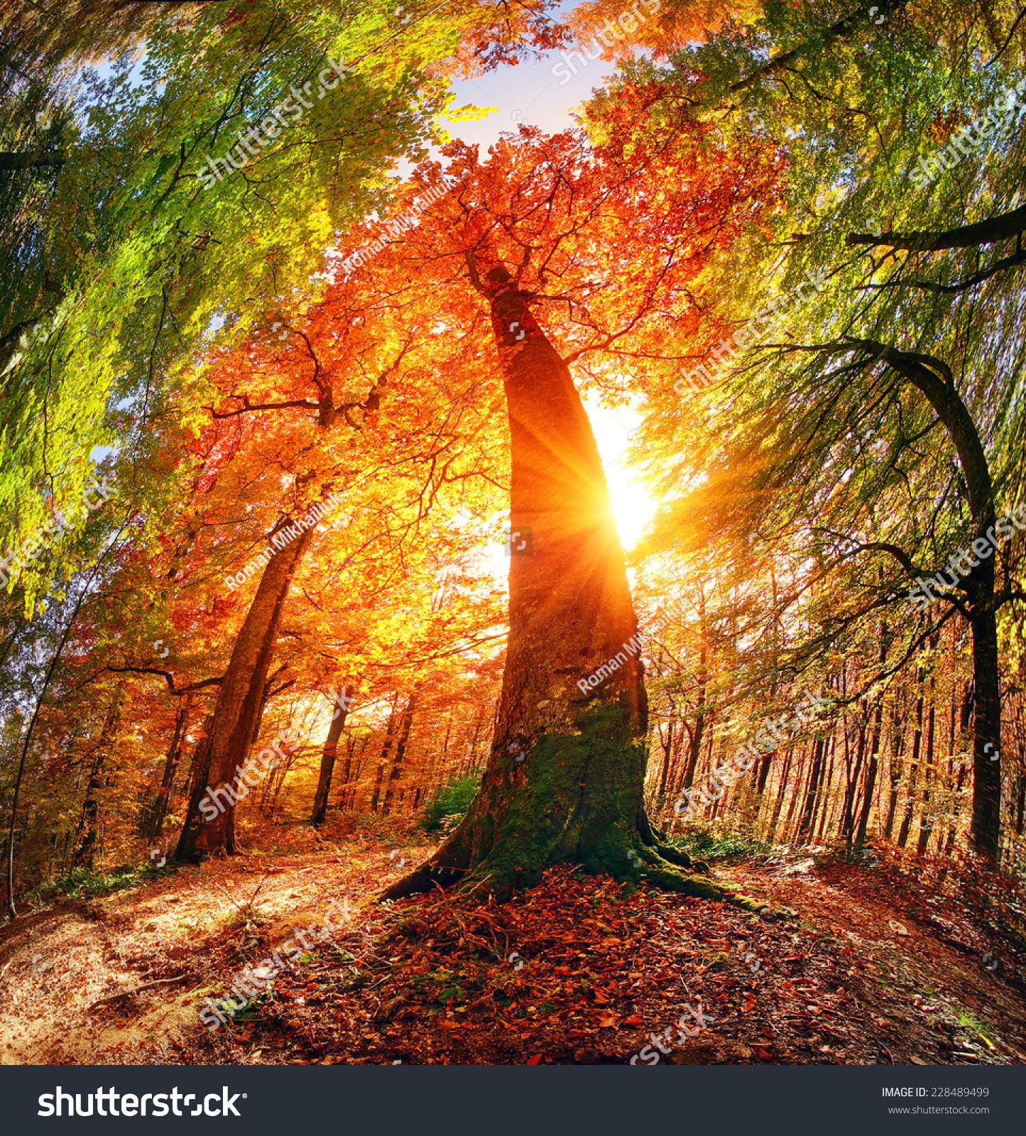 在喀尔巴阡山脉乌克兰喀尔巴阡山背景秋天山毛榉森林.图片