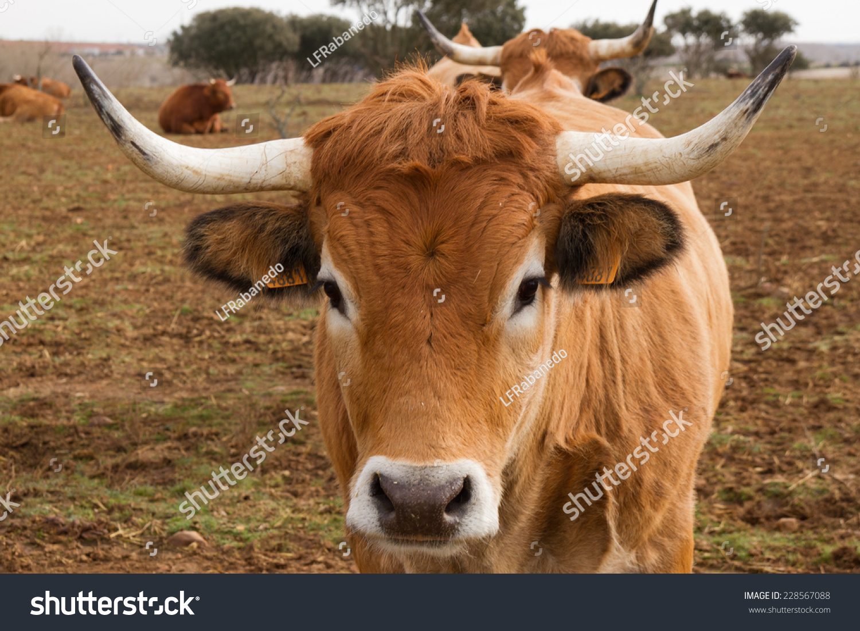 动物 牛 1500_1100