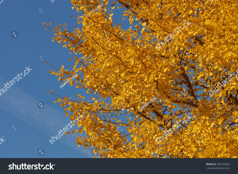 银杏树的细节丰富多彩的秋天的树叶.-自然-海洛创意()