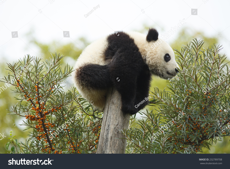 大熊猫 动物 1500