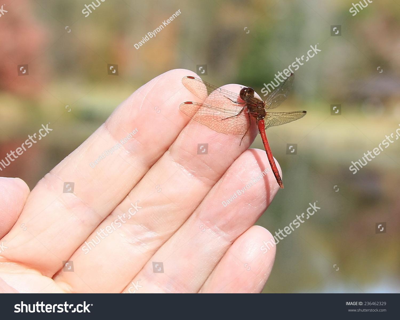 蜻蜓落在我的手指-动物/野生生物,人物-海洛创意()-合