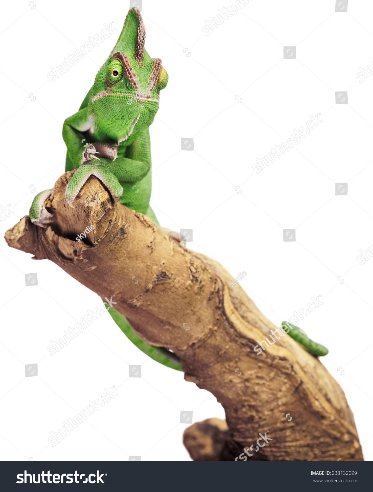 绿色的爬行动物在白色背景上