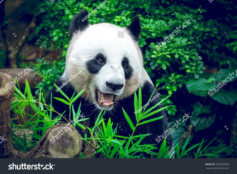 熊饿大熊猫吃竹子-动物/野生生物
