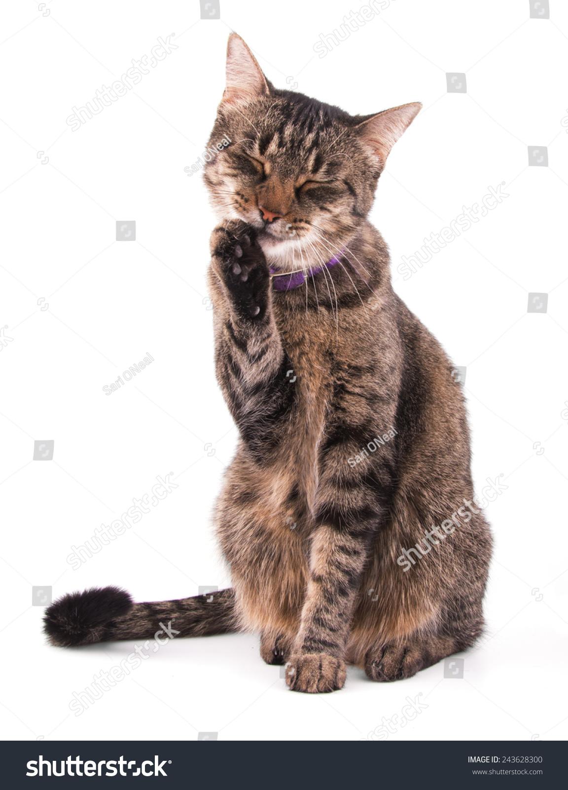 棕色的虎斑猫舔她的爪子是白色的-动物/野生生物-海洛