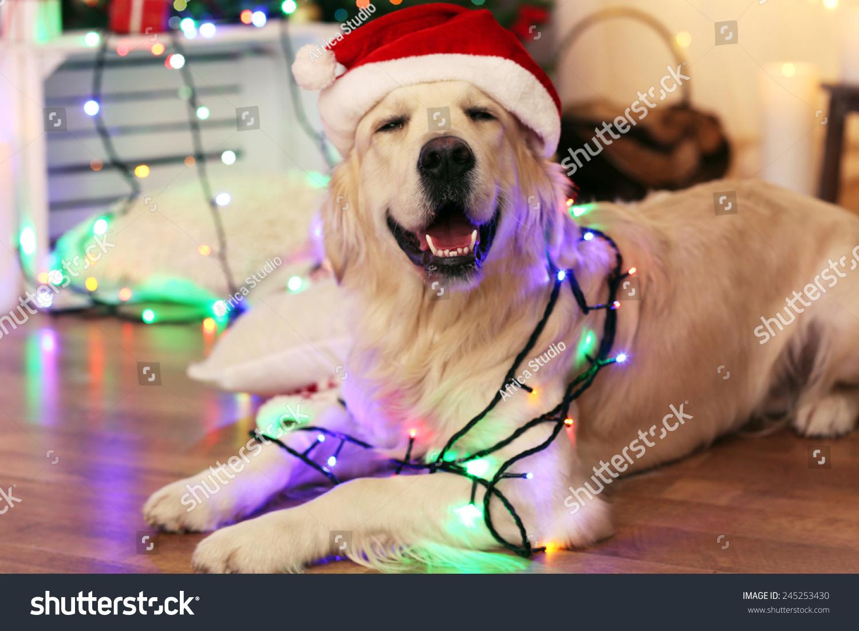 和加兰躺在木地板和圣诞节
