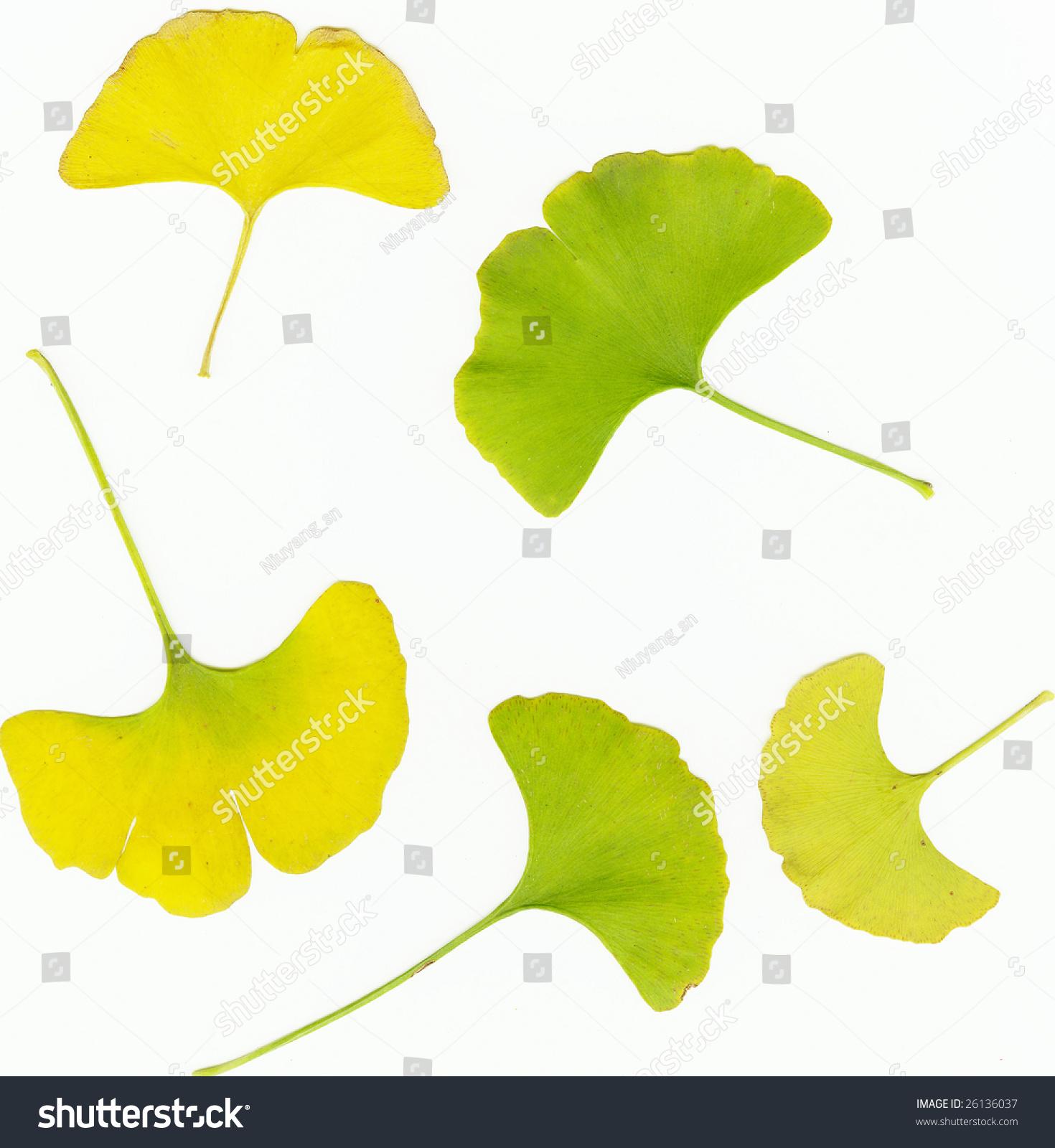 银杏的叶子-背景/素材,自然-海洛创意(hellorf)-中国