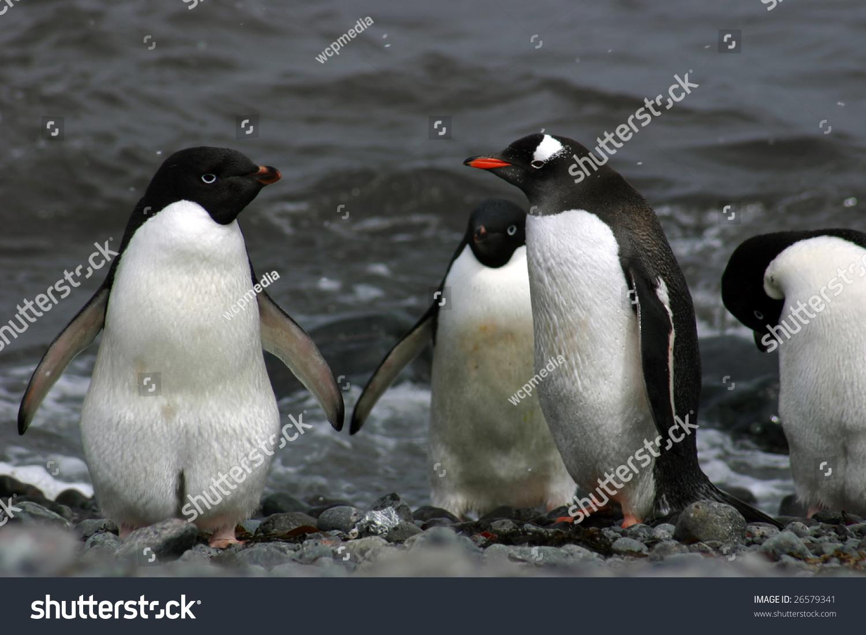 意译:adeliae的阿德利企鹅)满足巴布亚企鹅(巴布亚)跨过南极洲 - 动物/野生生物,自然 - 站酷海洛创意正版图片,视频,音乐素材交易平台 - Shutterstock中国独家合作伙伴 - 站酷旗下品牌