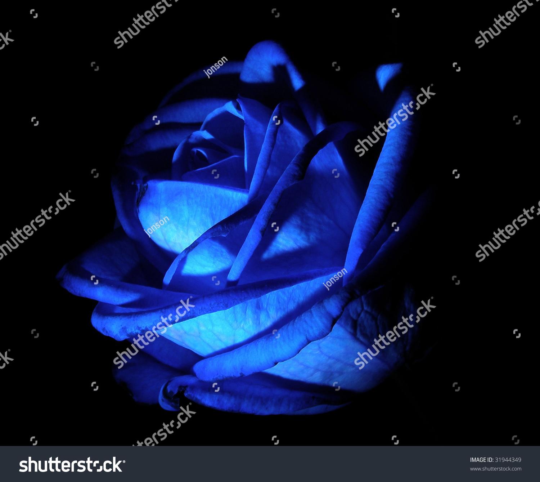 深蓝色的玫瑰在一个黑色背景-自然,交通运输-海洛创意