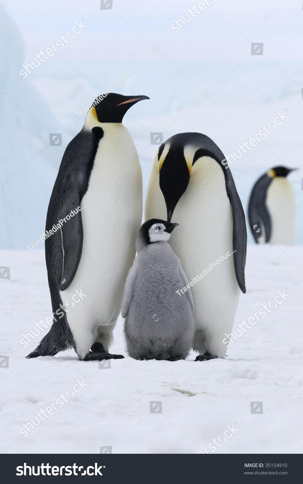 帝企鹅(Aptenodytes forsteri)在威德尔海在冰上,南极洲 - 动物/野生生物,自然 - 站酷海洛创意正版图片,视频,音乐素材交易平台 - Shutterstock中国独家合作伙伴 - 站酷旗下品牌