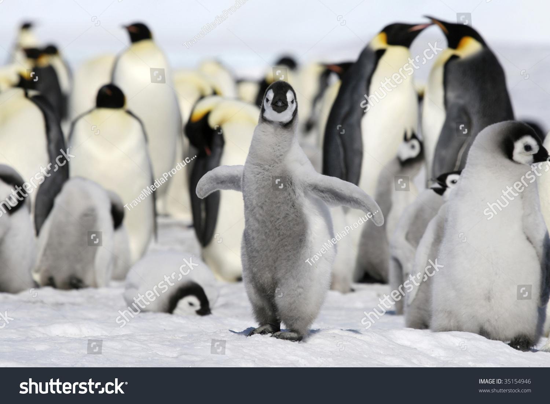 帝企鹅小鸡(Aptenodytes forsteri)在威德尔海在冰上,南极洲 - 动物/野生生物,自然 - 站酷海洛创意正版图片,视频,音乐素材交易平台 - Shutterstock中国独家合作伙伴 - 站酷旗下品牌