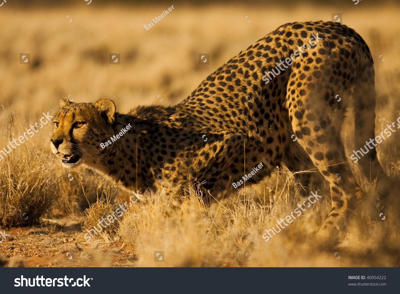 纳米比亚非洲猎豹-动物/野生生物,自然-海洛创意()-合