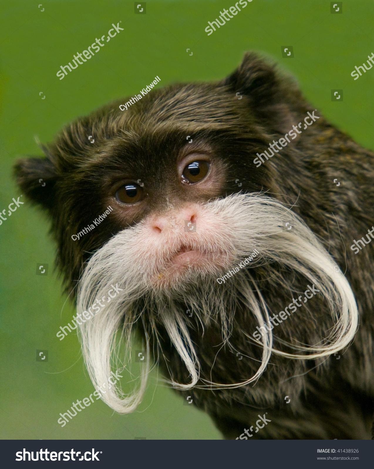 特写皇帝绢毛猴-动物/野生生物