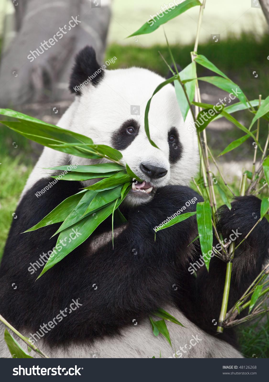 大熊猫正吃着绿竹叶-动物/野生生物,自然-海洛创意()