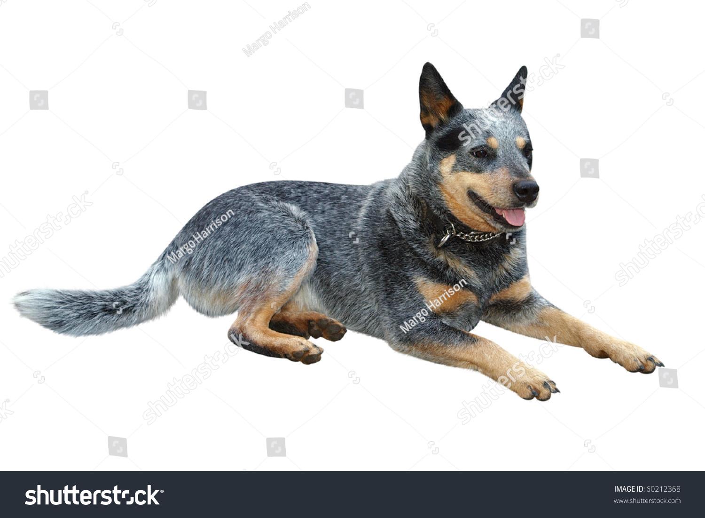 澳大利亚牛狗与夹路隔离-动物/野生生物