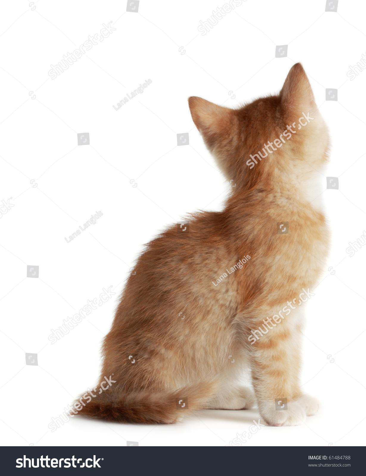 后视图可爱年轻的红色的小猫