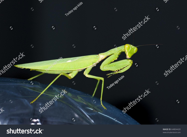 螳螂与黑色背景-动物/野生生物