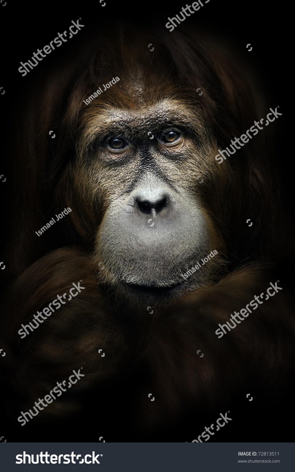 猩猩特写肖像-动物/野生生物