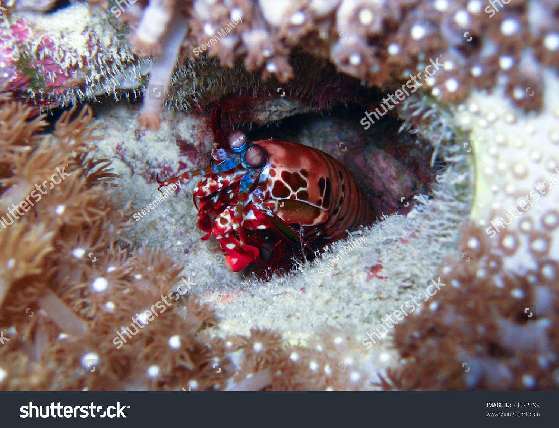 螳螂虾在洞穴;澳大利亚大堡礁-动物/野生生物