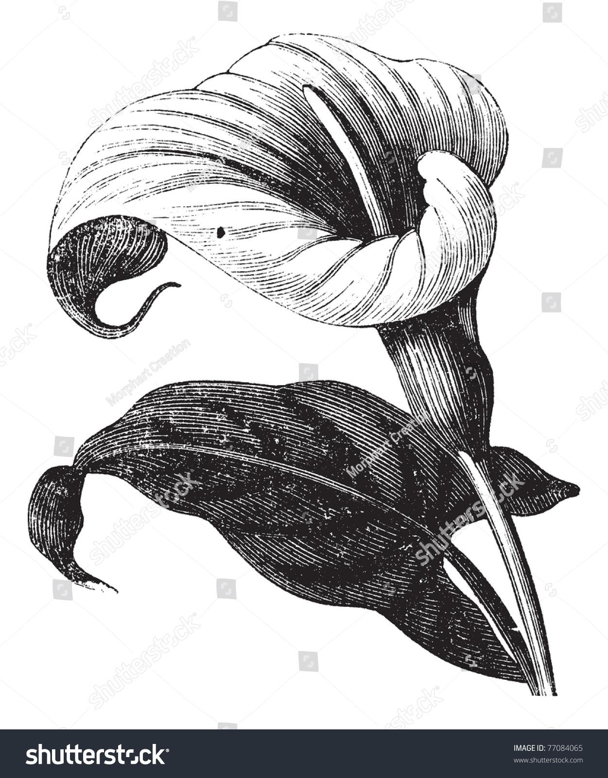 马蹄莲属也称为Richardia Africana,花朵,古典雕刻的马蹄莲属,花,孤立在白色的背景下。Trousset百科全书。 - 插图/剪贴图,自然 - 站酷海洛创意正版图片,视频,音乐素材交易平台 - Shutterstock中国独家合作伙伴 - 站酷旗下品牌