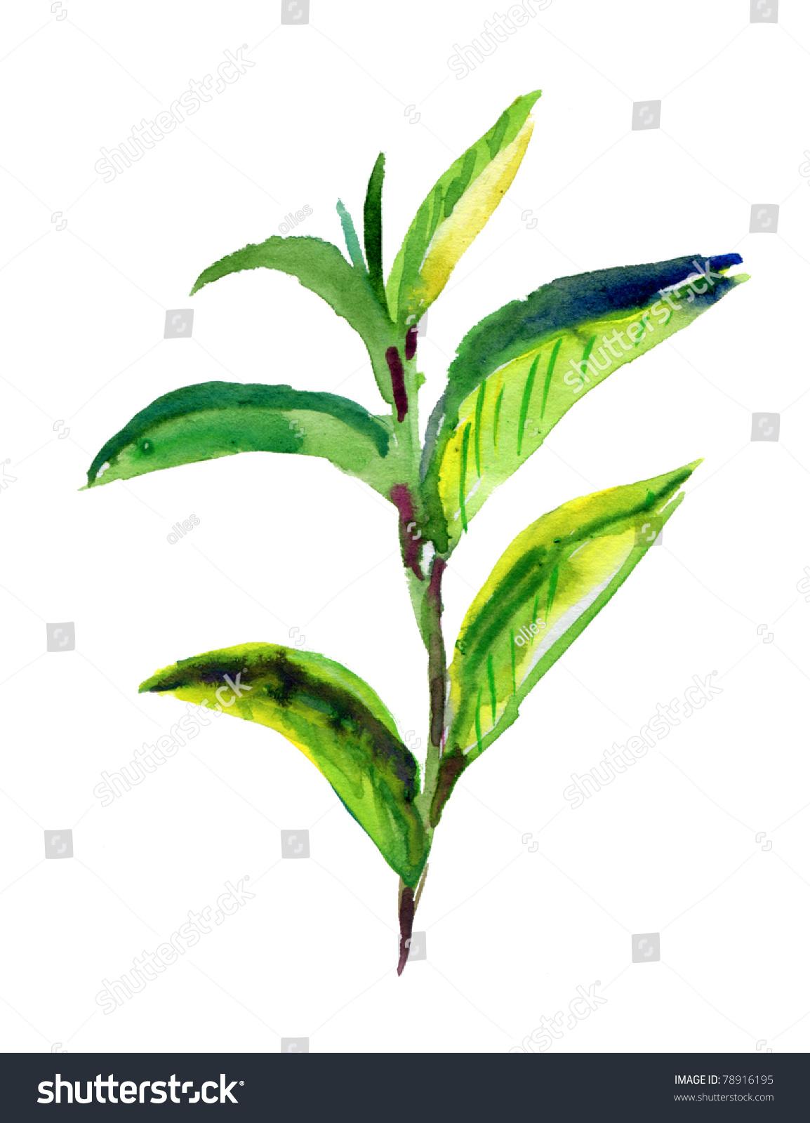 茶叶水彩手绘图