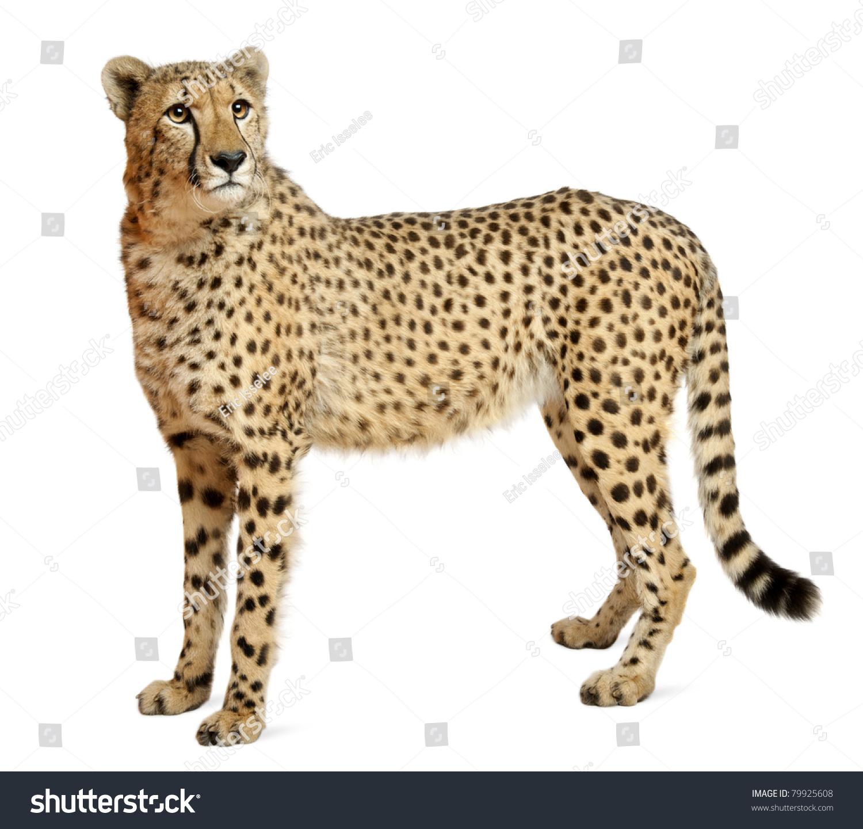 猎豹的动物名片