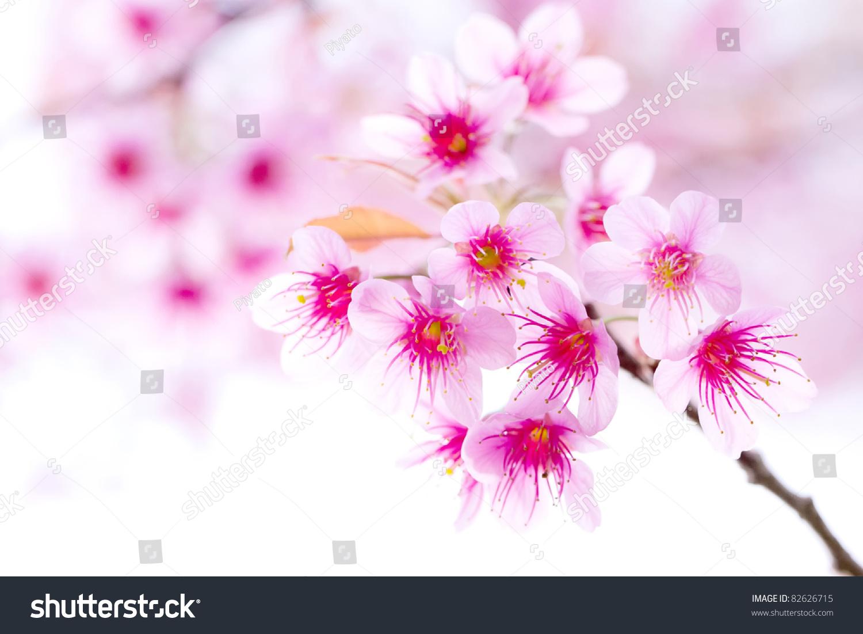 樱花,粉色樱花花-自然,交通运输-海洛创意(hellorf)-.