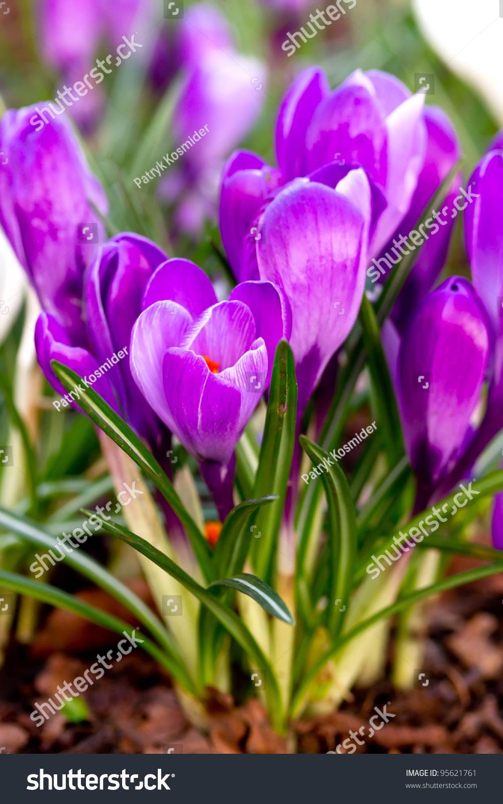 紫色的番红花的花在春天-公园/户外